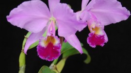 Cattleya Wallpaper For IPhone