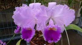 Cattleya Wallpaper Free