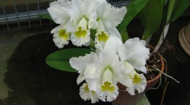Cattleya Wallpaper Gallery
