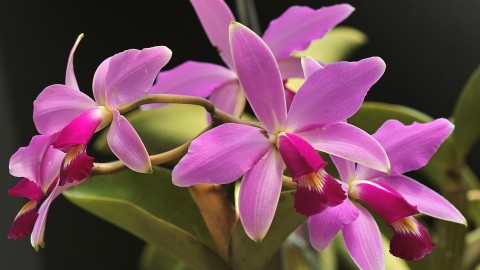 Cattleya wallpapers high quality