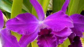 Cattleya Wallpaper High Definition