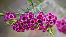 Chamelaucium Wallpaper Gallery