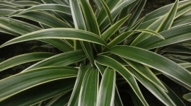 Chlorophytum Wallpaper 1080p