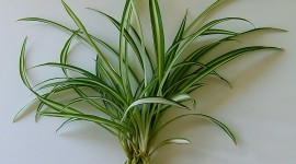 Chlorophytum Wallpaper