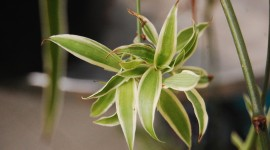 Chlorophytum Wallpaper Background