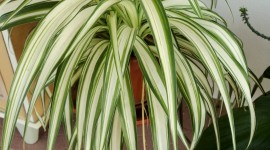 Chlorophytum Wallpaper For Android