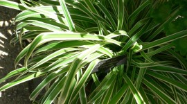 Chlorophytum Wallpaper For IPhone Download