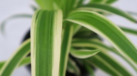 Chlorophytum Wallpaper Gallery