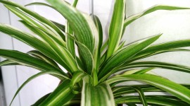 Chlorophytum Wallpaper HD