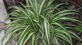 Chlorophytum Wallpaper HQ