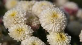 Chrysanthemum Bouquet Photo Free