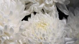 Chrysanthemum Bouquet Wallpaper IPhone#1