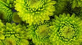 Chrysanthemum Bouquet Wallpaper For Mobile#2