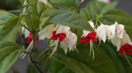 Clerodendrum Wallpaper