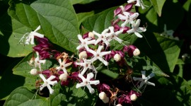 Clerodendrum Wallpaper For PC