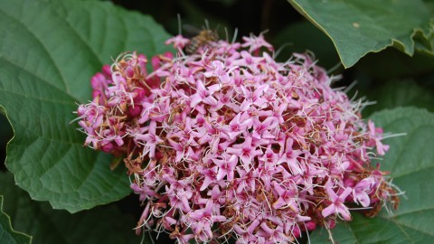 Clerodendrum wallpapers high quality