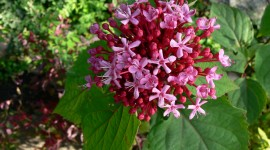 Clerodendrum Wallpaper High Definition