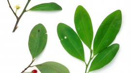 Coca Leaves High Quality Wallpaper