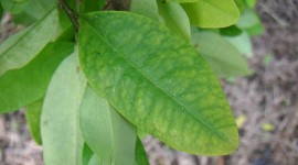 Coca Leaves Wallpaper Background