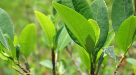 Coca Leaves Wallpaper For IPhone