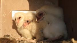 Owl Chick Desktop Wallpaper