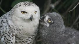 Owl Chick Wallpaper 1080p