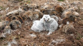 Owl Chick Wallpaper Download