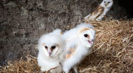 Owl Chick Wallpaper Download Free