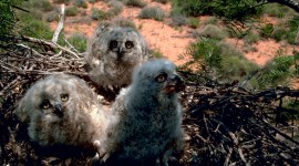 Owl Chick Wallpaper For Desktop