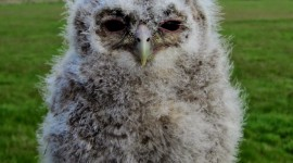 Owl Chick Wallpaper For IPhone Download