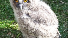 Owl Chick Wallpaper For IPhone Free