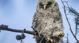 Owl Chick Wallpaper Free