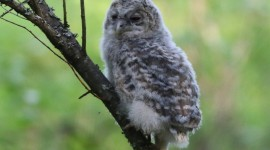 Owl Chick Wallpaper Full HD