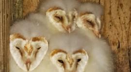 Owl Chick Wallpaper HD