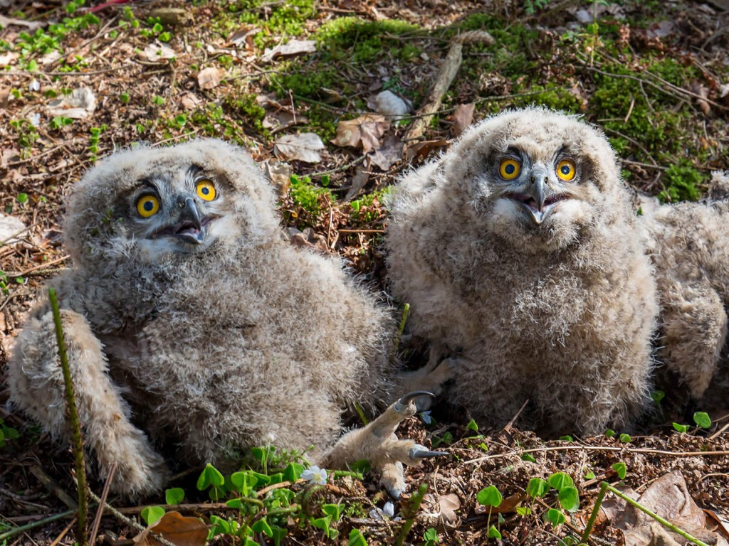Owl Chick wallpapers HD