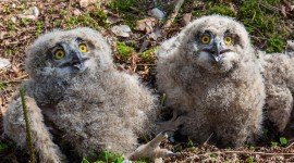 Owl Chick Wallpaper High Definition