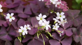 Oxalis Best Wallpaper