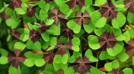 Oxalis Desktop Wallpaper