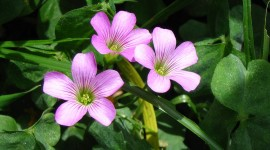 Oxalis High Quality Wallpaper