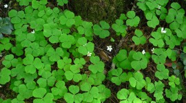 Oxalis Wallpaper Download
