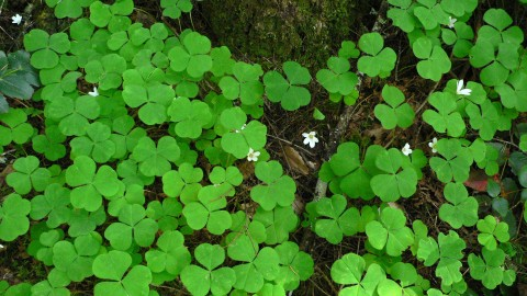 Oxalis wallpapers high quality