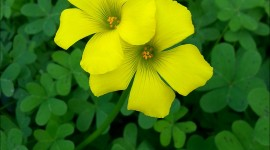 Oxalis Wallpaper For IPhone Free