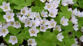 Oxalis Wallpaper Full HD