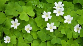 Oxalis Wallpaper Gallery