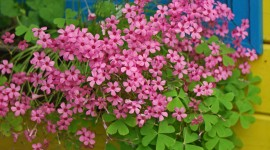 Oxalis Wallpaper HD