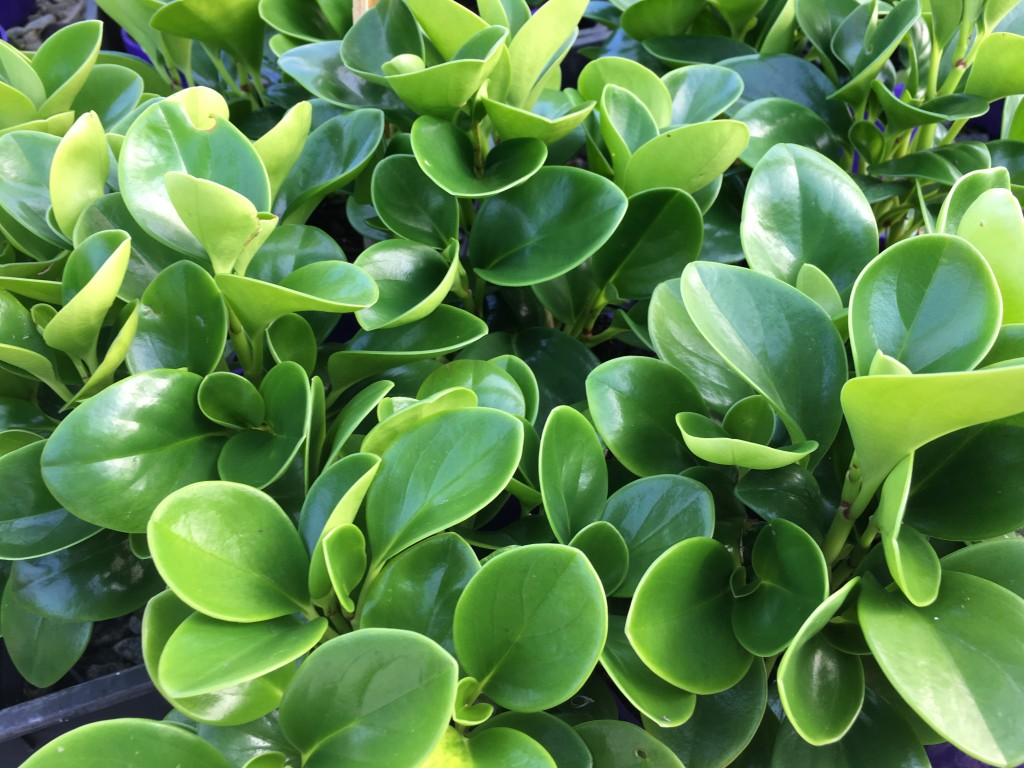 Peperomia wallpapers HD