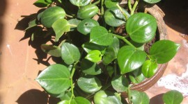 Peperomia Wallpaper Download Free
