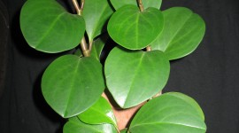 Peperomia Wallpaper For IPhone Free