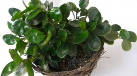 Peperomia Wallpaper High Definition