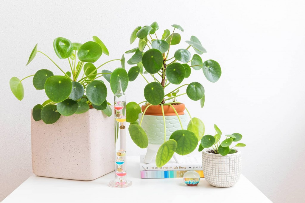 Pilea wallpapers HD
